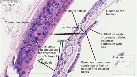 esophagus cross section esophagus and trachea cross section diagram trachea and