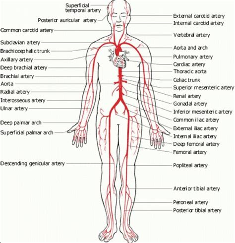 diagram of carotid artery human artery diagram in detail anatomy note