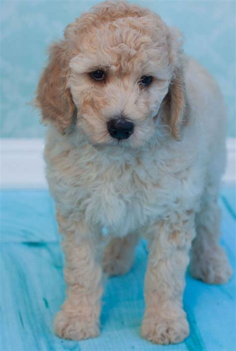 poodle mix puppies rescue 17 best images about rescue pups dogs on australian shepherd mix poodles