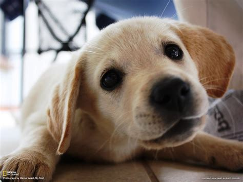pictures of labrador puppies golden lab puppy
