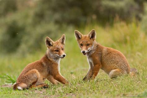 one fox 13 fox cubs 1 roeselien raimond photography