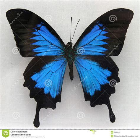 imagenes de mariposas realistas una mariposa azul hermosa foto de archivo libre de