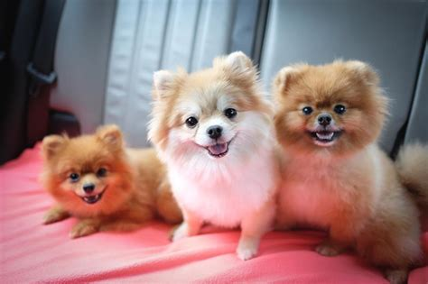 pomeranian haircut styles grooming styles for pomeranians pets