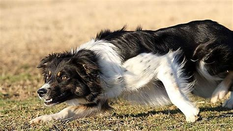 smartest breed in the world the smartest dogs in the world sfgate