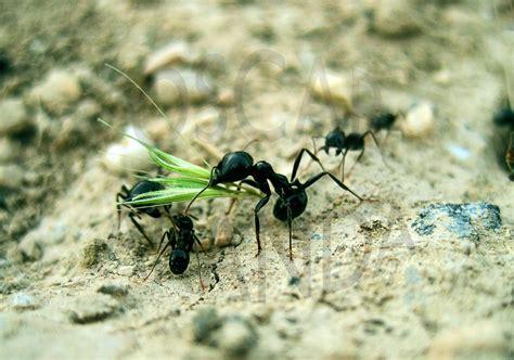 imagenes hormigas negras las hormigas una sociedad modelo relatos de la naturaleza