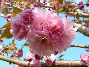 the amazing beauty of ornamental cherry trees home