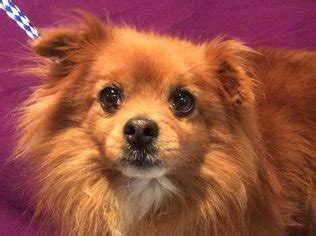 pomeranian adoption california view ad pomeranian for adoption california pomona usa