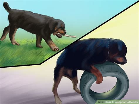 how should i walk my rottweiler 4 ways to adopt a rottweiler wikihow