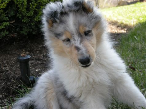 blue merle collie puppies for sale akc blue merle collie for sale michigan breeds picture