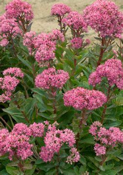 Crop Flower Pink 29 best images about sedum on container gardening sedum ground cover and deer