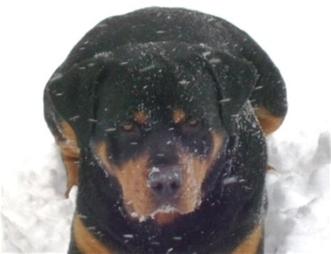 rottweiler in snow beautiful rottweiler photos they don t get any better than these