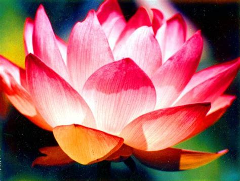 lotus flower colors brilliant lotus flower color photograph