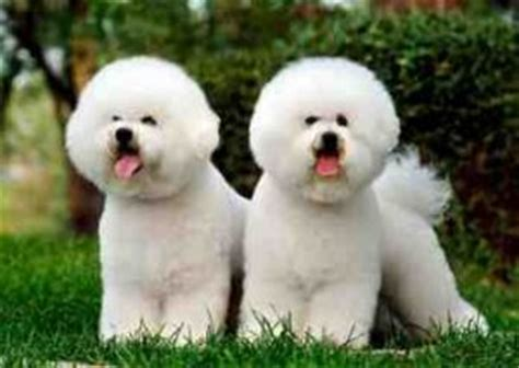 Bichon Shedding by A Review Of The Best 70 Hypoallergenic Dogs That Don T