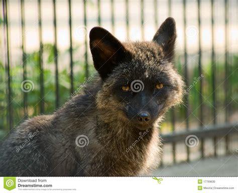 silver fox stock photo image 17769630