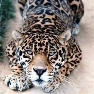 Cats That Look Like Jaguars Naturaleza Naturalezamx
