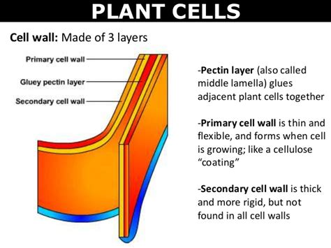 what are walls made of 01 cell structures