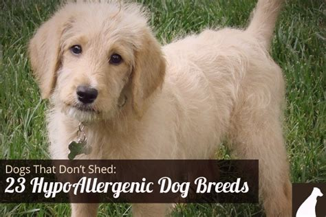 Puppies That Don T Shed by Breeds That Dont Shed Newhairstylesformen2014