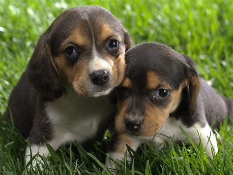 pics of beagle puppies animals beagle puppies picture nr 41288