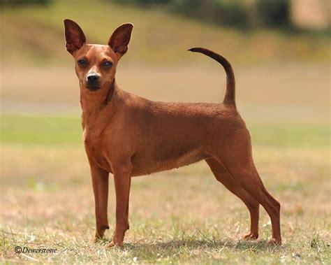 pinscher alimentazione pincher cani taglia mini caratteristiche