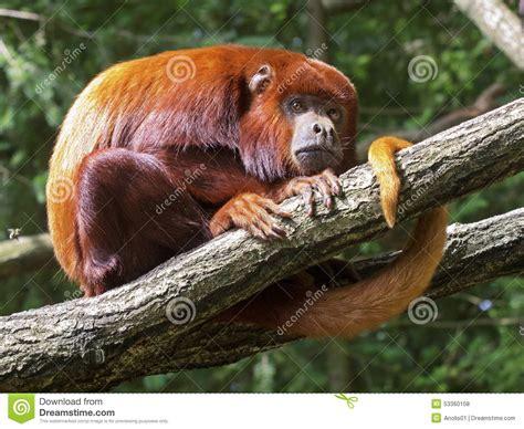 mp gratis rossa scimmia rossa foto stock iscriviti gratis