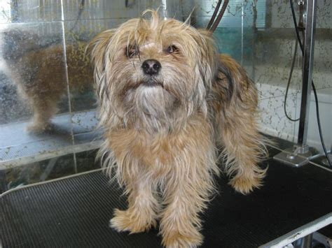 maltese yorkie mix pin gallery shih tzu adoption on