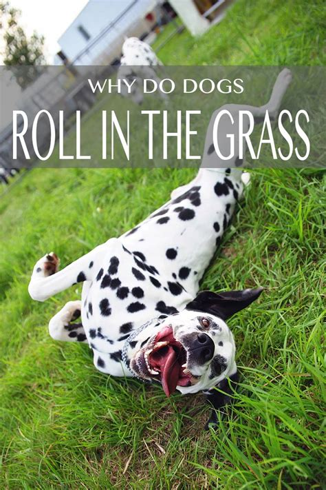 why do dogs roll in grass why do dogs roll in grass the happy puppy site