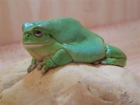 pet varieties pet magic northern green tree frog