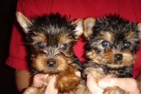 adorable yorkie puppies for adoption yorkie quotes quotesgram
