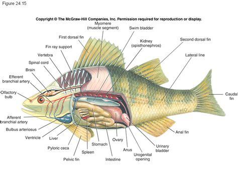 Bibit Ikan Pari gambar ikan lele koleksi gambar hd