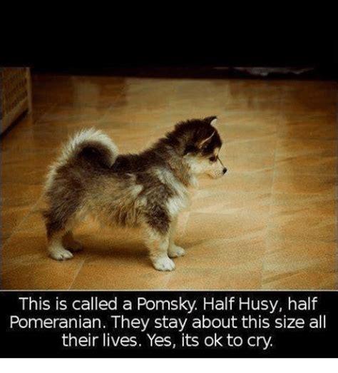 why do pomeranians cry pomeranian memes of 2016 on sizzle
