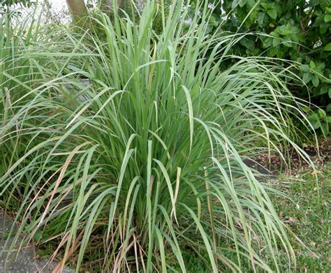 Lemon Grass In Planters by Grow Your Own Lemongrass Lovely Greens Garden Living And