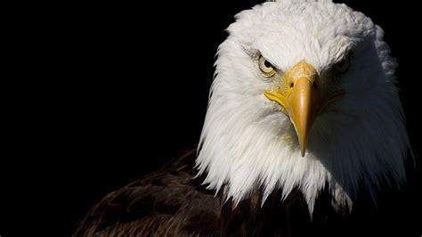 wallpaper black eagle bald eagle hd desktop wallpaper widescreen high
