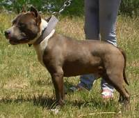 Staffordshire Terrier Funny Wallpaper  Dog Breeds Picture
