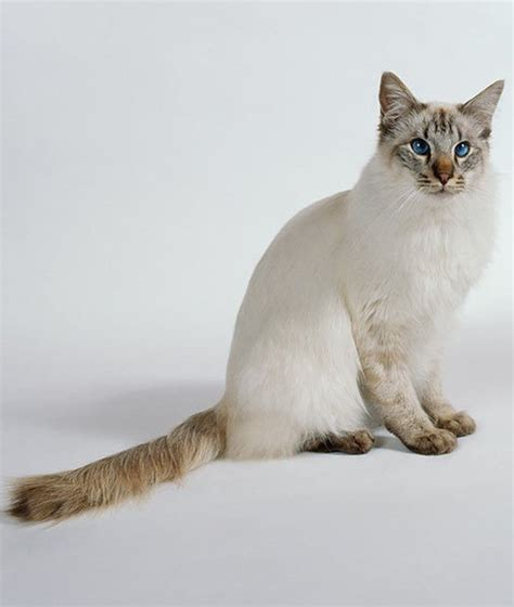 Cat That Sheds The Least by 10 Hypoallergenic Cats