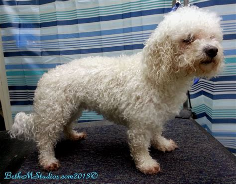 how to do a bob marley poodle cut on a dog marley bichon before a breed style http www