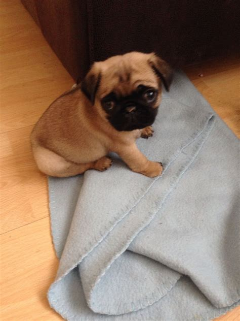8 week pug puppy three 8 weeks chunky puppy pugs for sale woking surrey pets4homes
