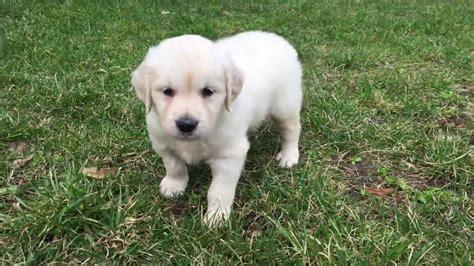 montana golden retrievers montana golden retriever puppy for sale puppy
