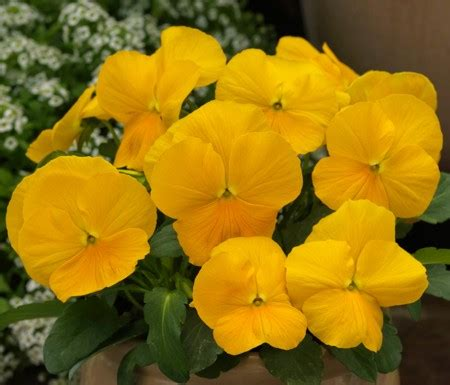 viola color premier plant solutions