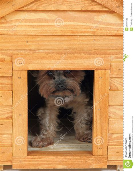 yorkie dog house dog at small wooden house stock photos image 36093643