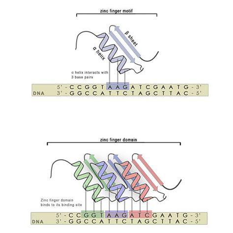 dna binding increasing function ma