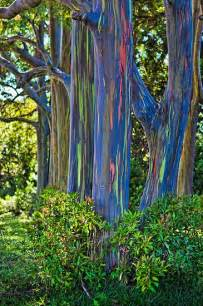 rainbow trees best 25 rainbow eucalyptus tree ideas on pinterest