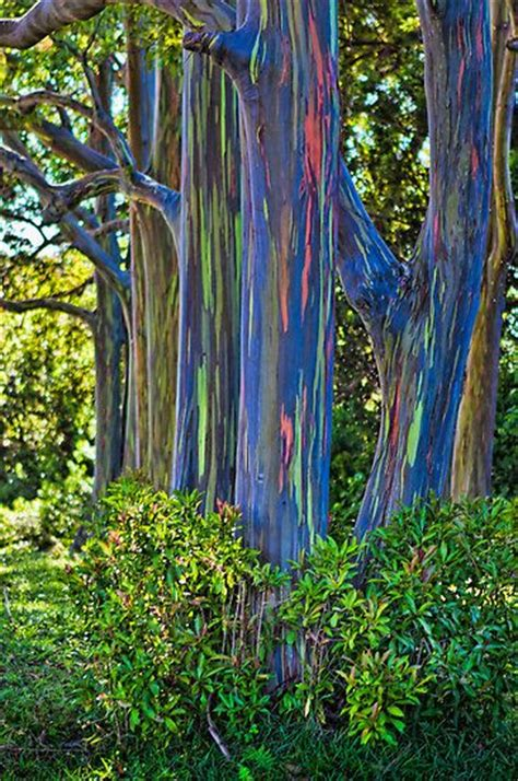 rainbow trees best 25 rainbow eucalyptus tree ideas on pinterest