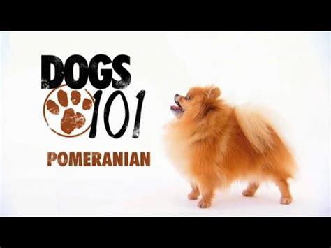 dogs 101 pomeranian dogs 101 pomeranian