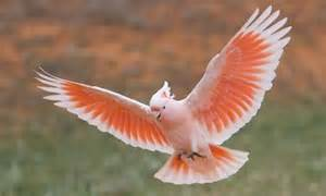 What Colors Affect Mood major mitchell s cockatoo or pink cockatoo facts pet care