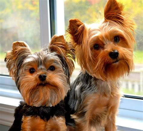 a yorkie yorkie potty q and a yorkie splash and shine
