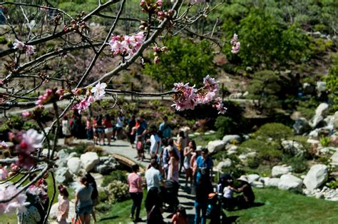 5 cherry tree grove cherry blossom festival saturday march 5 2016 10 a m to 4 p m san diego reader