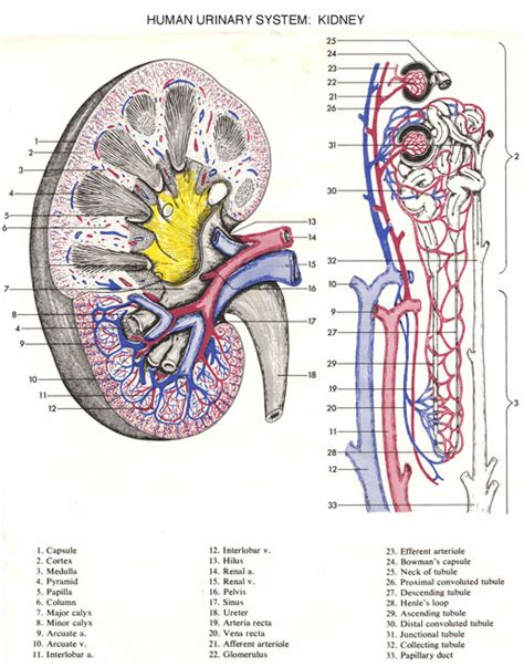 diagram of the urinary system free coloring pages of human urinary system