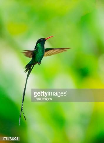 jamaica hummingbird in flight stock photo | getty images