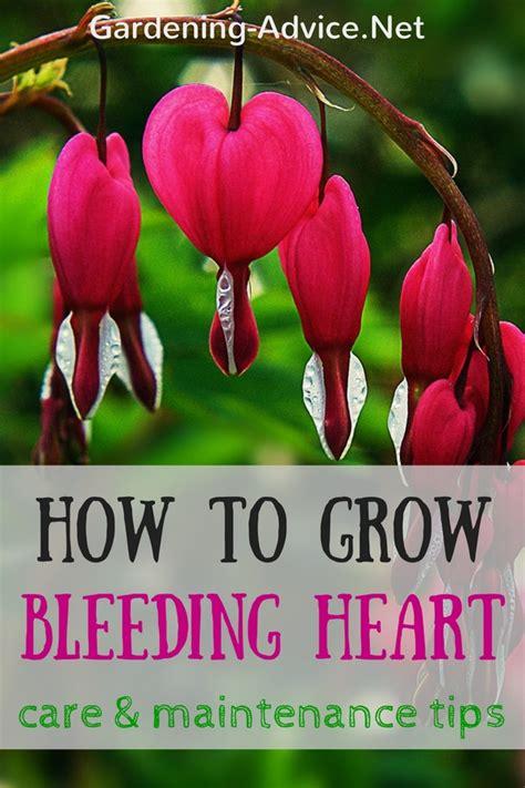 The Bleeding Heart Plant