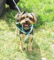 alvin yorkies 1000 images about adoptable yorkies on yorkie dogs terrier and